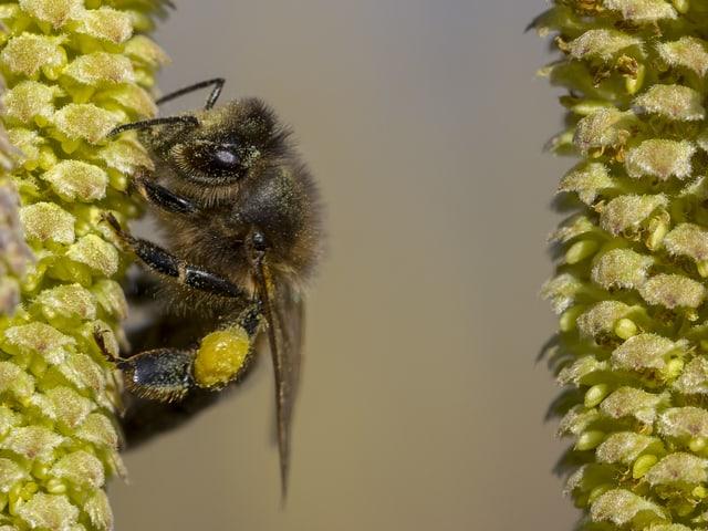 Eine Biene im Nektar sammeln.