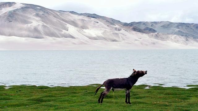 Ein Esel in der Provinz Xinjiang im Nordwesten von China lässt Wasser.