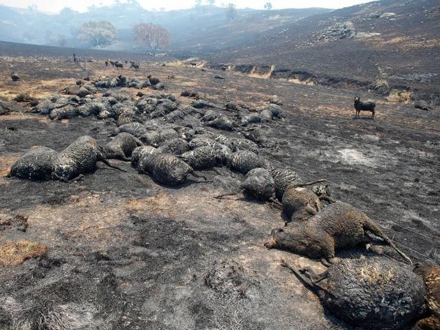 Tote Schafe in einer abgebrannten Landschaft