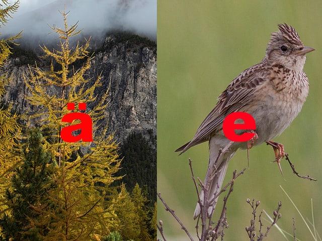 Links ein Bild von einer Lärche mit einem roten ä, rechts ein Foto einer Lerche mit einem roten e.