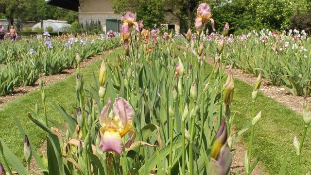 Iris-Blüten im Merian-Garten