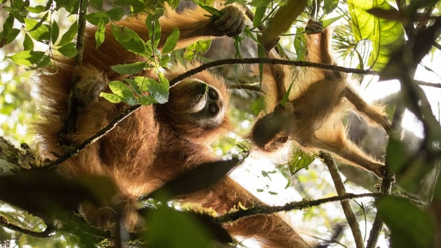 Zwei Affen auf dem Baum.