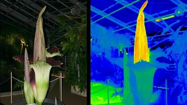 Eine Titanwurz an der Universität Bonn und auf einer Aufnahme einer Wärmebildkamera.