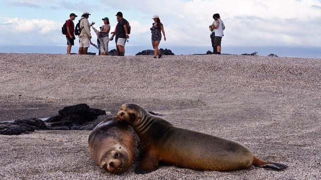 Zwei Robben am Strand, im Hintergerund eine Gruppe Touristen.