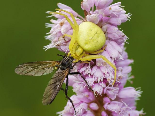 Krabbenspinne, auf einer rosaroten Blüte, erbeutet gerade ein Insekt.