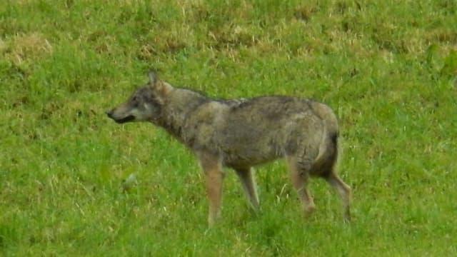 Wolf auf grüner Wiese