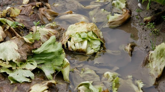 Salat im Matsch bleibt nicht lange frisch.