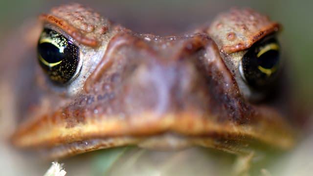 Aufnahme des Kopfes einer Aga-Kröte. Die Tiere erreichen Körperlängen von mehr als 22 Zentimetern.