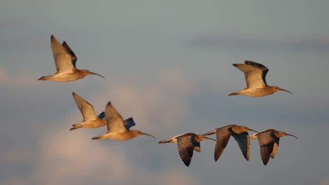 Ein Trupp von Grossen Brachvögeln
