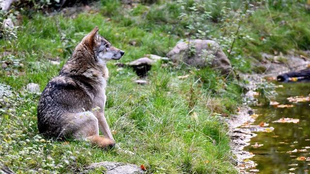 Der Wolf am Bach