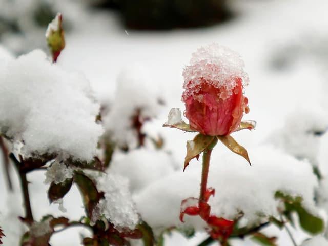 Schnee auf einem Rosenstrauch
