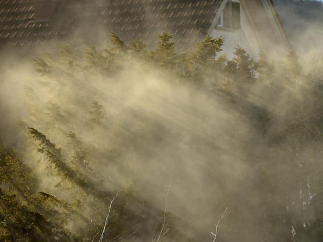 Busch mit vielen Pollen. Die Pollen hüllen die Pflanze wie Rauch ein.