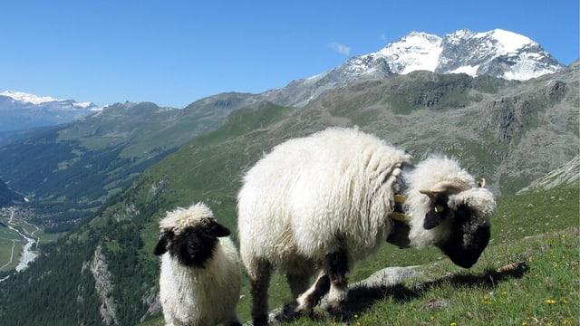 Zwei Schafe in Berglandschaft