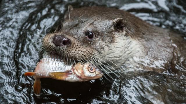 ludra cun pesc en bucca.