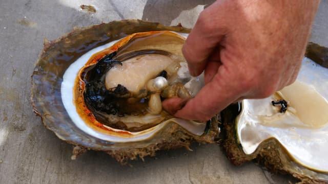 Eine Hand holt eine Perle aus einer Südsee-Muschel.