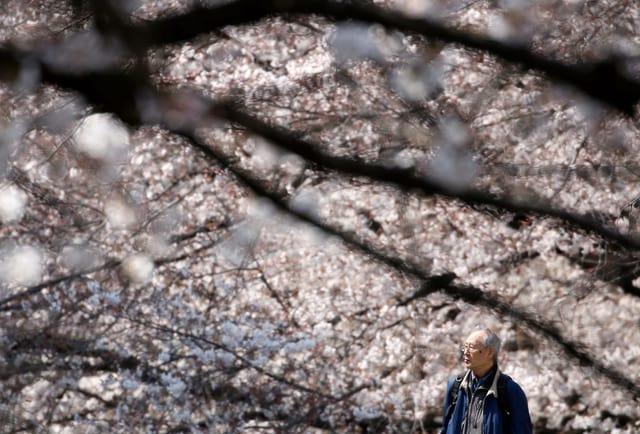 Älterer Mann unter einem Kirschblütenbaum