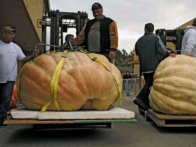 legums gigantics