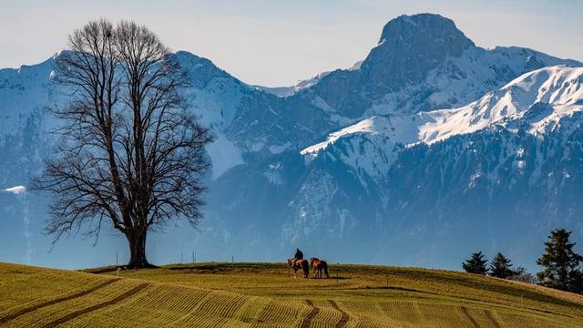 Blick über ein grünes Feld zu den Schneebergen der Berner Alpen.