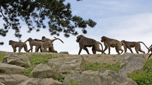 Dscheladas in ihrer Anlage im Zoo Zürich