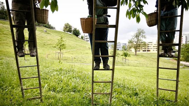Drei Personen stehen auf der Leiter und steigen Richtung Kirschbaum.