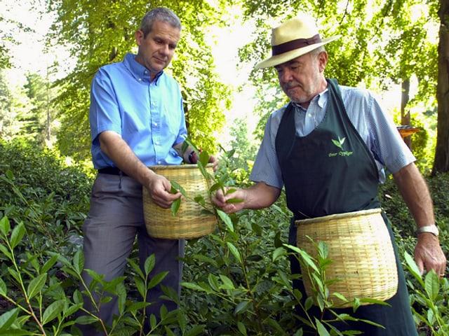 Peter Oppliger bei der Ernte.