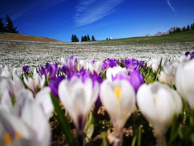 Blick über Tulpenwiese