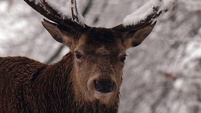 Hirsch im Schnee.