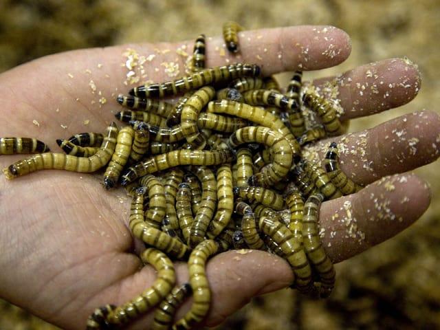 Eine Hand voller lebender Mehlwürmer, sie sind etwa drei Zentimeter gross und gelblich.