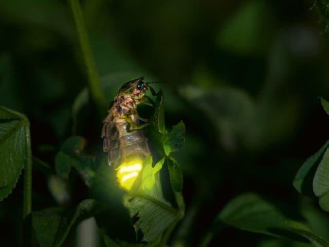 Ein glühendes Glühwürmchen an einem Baumblatt.