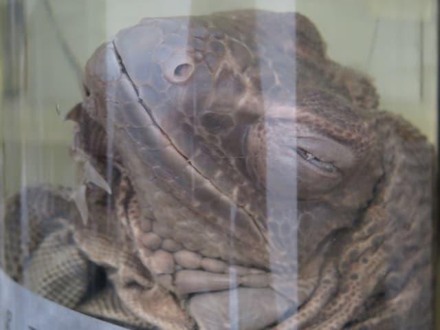 Leguan im Glas