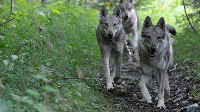 Il luf è protegì en Svizra.