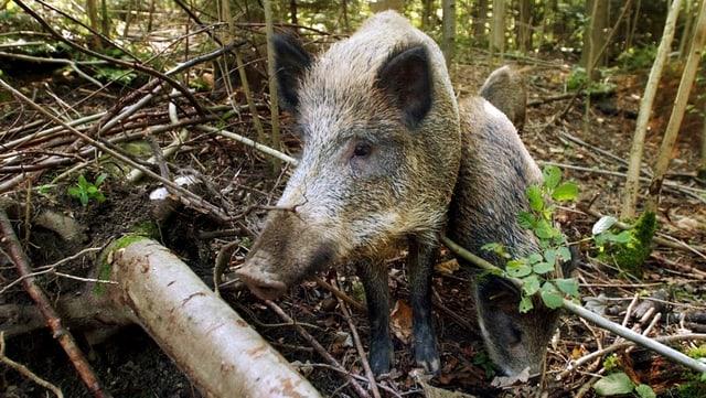 Wildschweine in freier Wildbahn