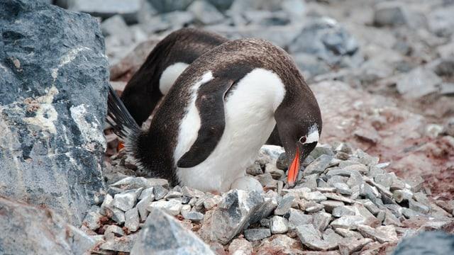 Zwei Pinguine, die sich putzen.