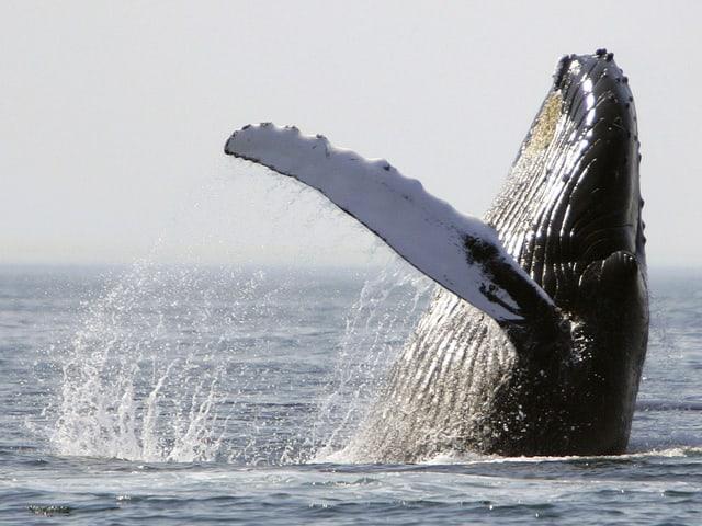 Ein Buckelwal wirft sich rücklinks ins Wasser, seitlich ist seine wellige Flosse gut zu sehen.