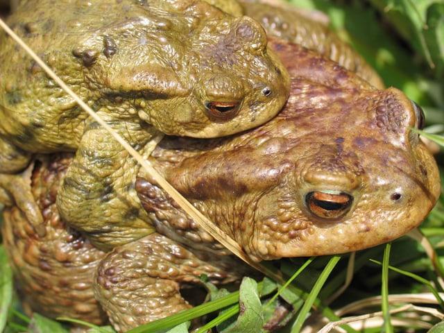 Erdkröten-Tandem