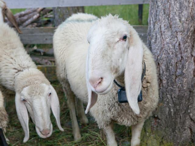 Schafe, eines hat ein schwarzes Halsband.