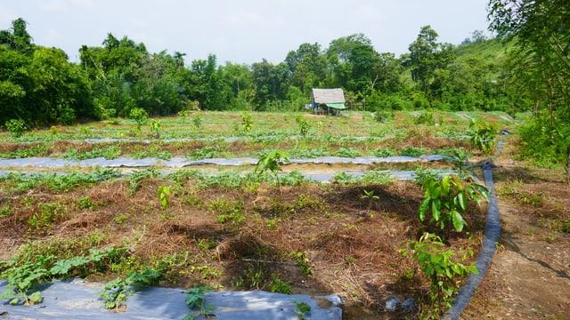 Illegal gerodeter Urwald, der als Plantage benutzt wird