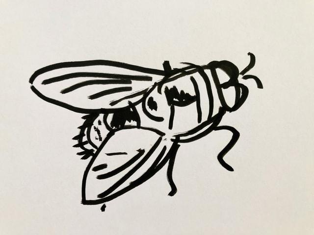 Skizze von einer Schmeissfliege