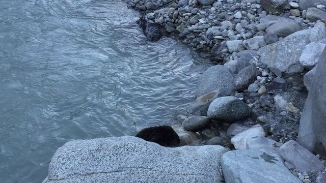 Castur a la riva da l'En en Engaidin'Ota.
