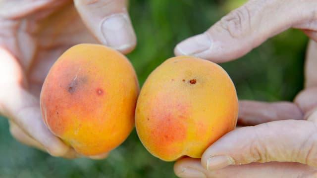 Zwei Aprikosen, die von der Kirschessigfliege befallen sind