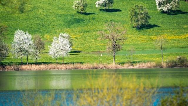 Blühende Obstbäume über dem Baldeggersee bei Nunwil im Kanton Luzern.