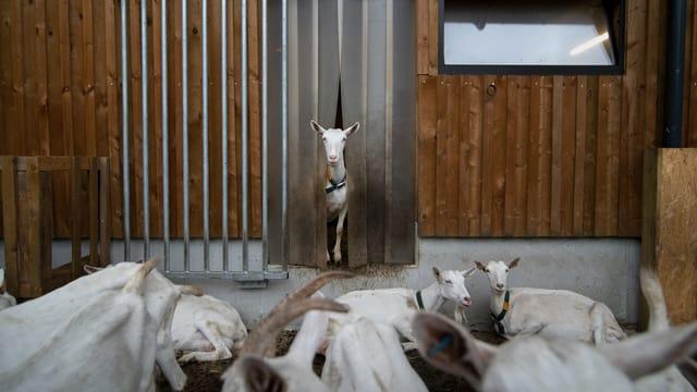 Ziegen stehen vor einem Stall.