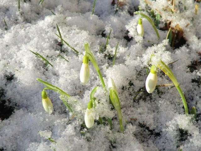 Schneeglöggli schütteln den letzten Schnee von ihren Köpfen.