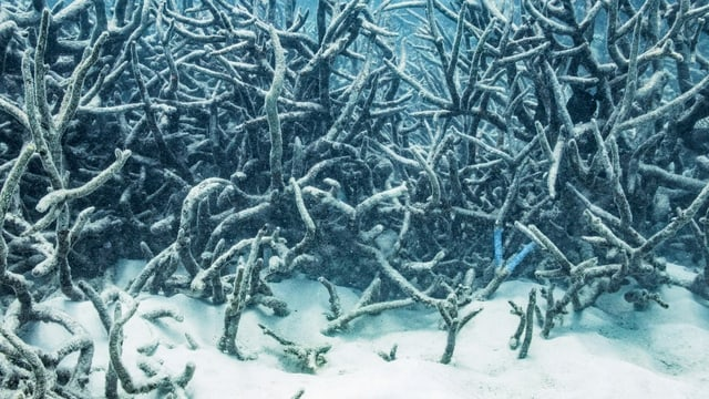 Unter der Wasseroberfläche am Great Barrier Reef spielt sich ein ökologisches Drama ab. 2017 kam es zur vierten Korallenbleiche innert 20 Jahren.