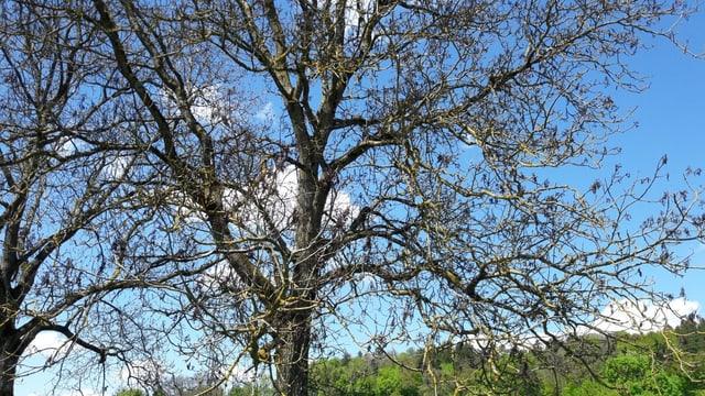 Kahle Äste statt grüne Blätter. Ein Anzeichen, dass die Ernte dieses Jahr ausfällt. Im Bild ein Nussbaum in Regensdorf.