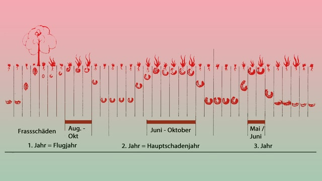 Grafik, die die aktiven Monate der Engerlinge zeigt.