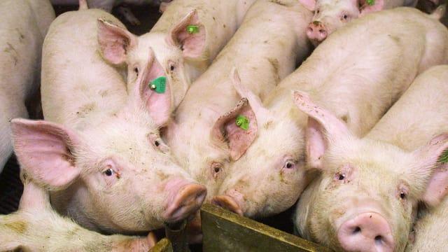 Schweine eng gedrängt in einer Box von oben gesehen