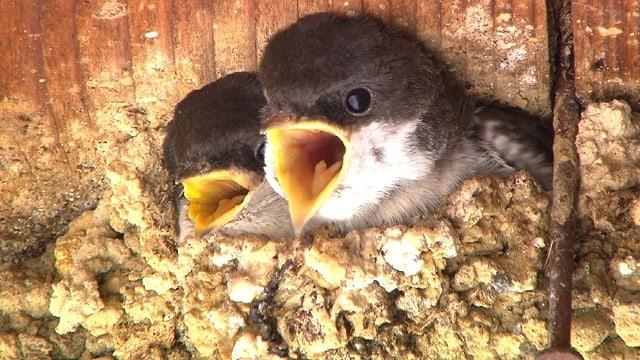 Video «Schulkinder helfen der Mehlschwalbe» abspielen