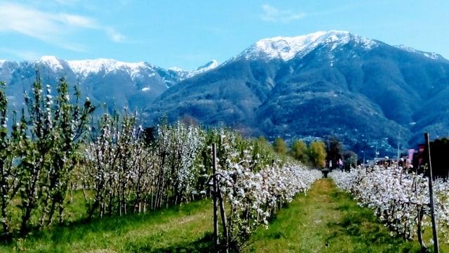 Blick von Ascona an die noch schneebedeckte Tamarokette.