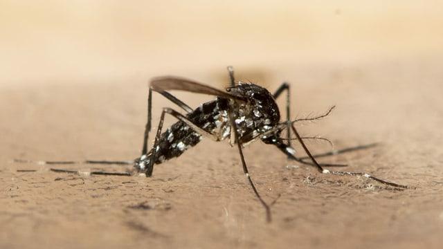 Nahaufnahme einer Mücke.